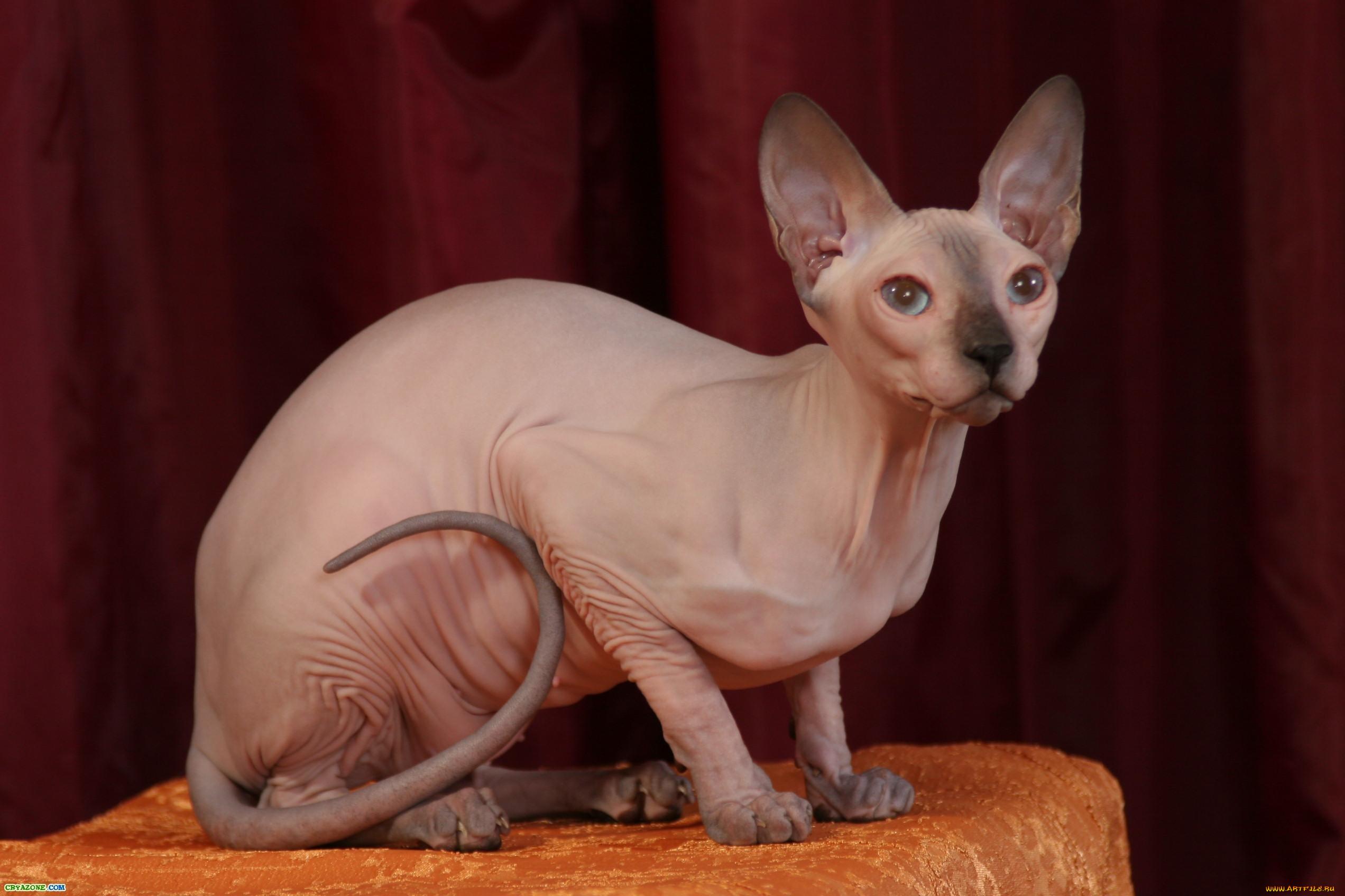 Картинки сфинкса котов